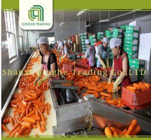 exploitation carotte